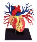 4D Human Deluxe Heart Anatomy Model