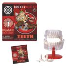 EIN-O Teeth Box Kit - Human Biology
