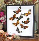 Framed Assorted Butterflies - Heliconius Sweep