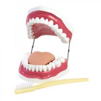Oral Hygiene Dental Model