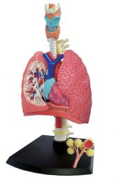 4D Human Respiratory System Model