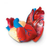 Human Heart Model, Soft Foam