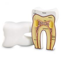 Tooth Model, Soft Foam