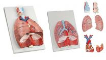 Respiratory System Model - Natural Size
