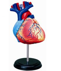 4D Human Heart Anatomy Model