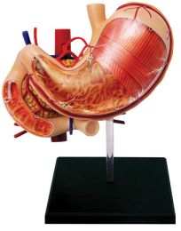 4D Human Stomach And Other Organs Anatomy Model
