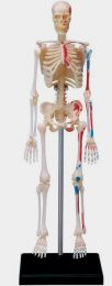 4D Human Skeleton Anatomy Model