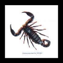 Framed Scorpion - Chernesonesometrus fulvipes