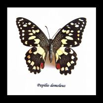 Framed Swallowtail Butterfly - Papilio demoleus