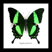 Framed Emerald Swallowtail Butterfly - Paplilio Palinurus
