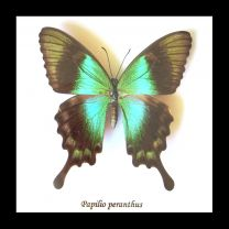 Framed Swallowtail Butterfly - Papilio peranthus