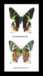 Framed Butterfly Duo - Chrysiridia riphaeria viso verso