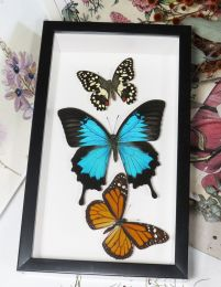 Framed Trio of Butterflies (Assorted Species)