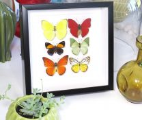 Framed Assorted Butterflies - 6 Species