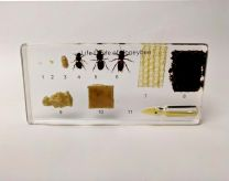 Honeybee Life Cycle Specimens