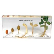 Peanut Specimens - Peanut Germination Life Cycle