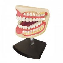 4D Human Adult Dentures Anatomy Model